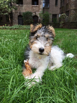 Wire haired terrier rescue florida