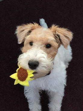 Thomas Terriers Wire Fox Terrier