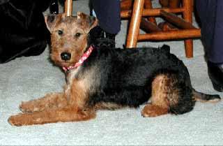 Welsh Terrier Scrapboo...