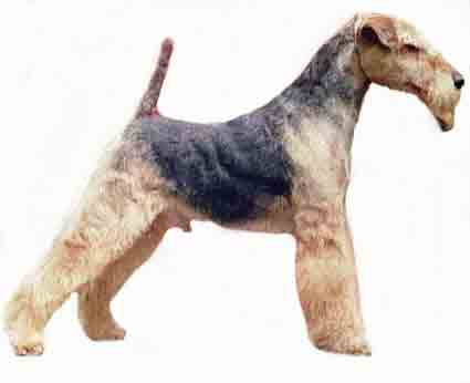 Welsh Terrier Georgia Welsh Terrier