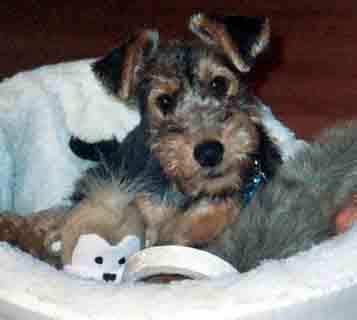Welsh Terrier Puppies on Welsh Terrier