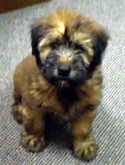 Wheaten Terrier Puppies on Wheaten Terrier Puppies For Sale Uk
